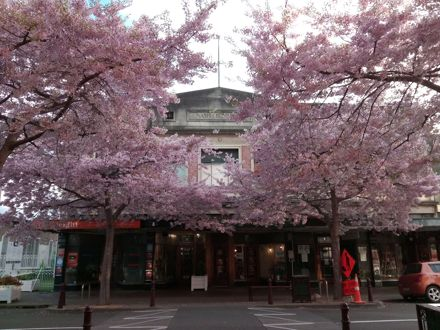 Cherry Blossom on George Street