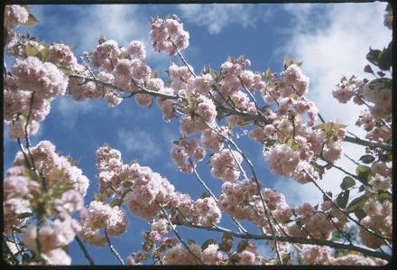 Victoria Esplanade Gardens - Cherry Blossoms