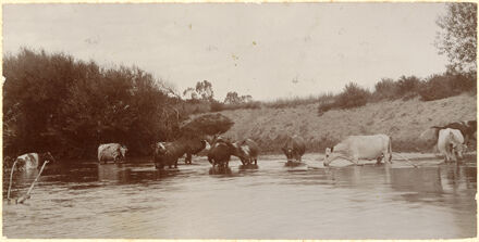 Cows, Oroua River