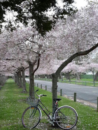 Cherry Blossom in The Esplanade