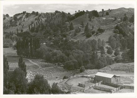 Sheep Run in Pohangina Valley