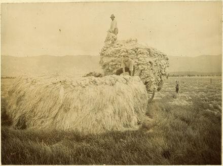 Stacking flax at Miranui Flaxmill, near Shannon