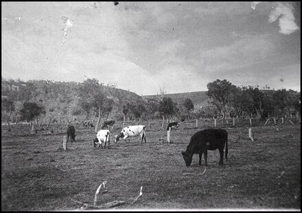 Cows grazing, Hokowhitu