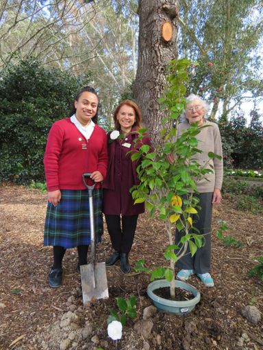 Suffrage 125 Camellia Planting