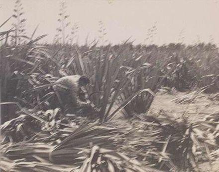 Flax Cutting