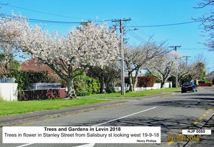 HJP 0050 Trees in flower in Stanley Street from Salisbury st looking west 19-9-18