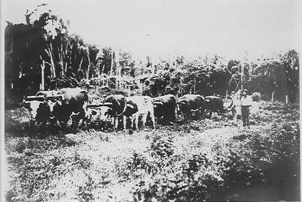 Bullock team  hauling logs
