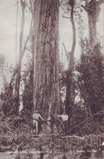 Mr Taylor & Mr Osborne felling giant tree (totara or rimu), Shannon, 1902