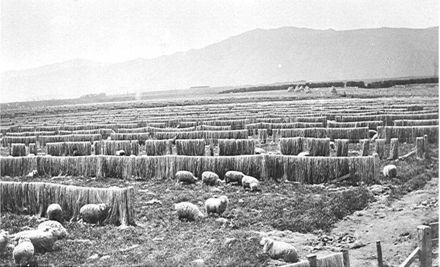 Bleaching Flax, 'Miranui' Mill