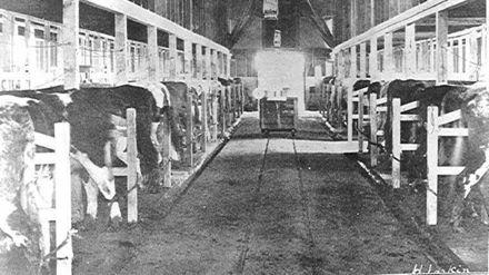 Milking-time, Weraroa Experimental Station