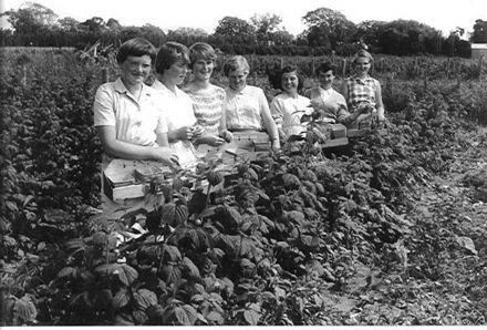 Raspberry Pickers, Brown's Berryfruit Gardens, 1958