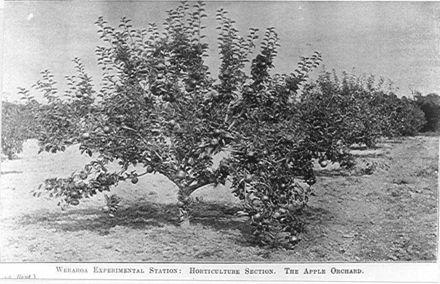 Apple Orchard, Weraroa Experimental Station