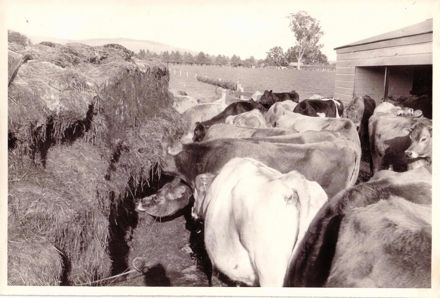 Cows feeding on silage from stack at cowshed