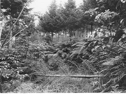 Kohitere Forest (pine plantation), 1968