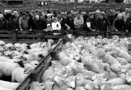Sheep Sale at Feilding Saleyards