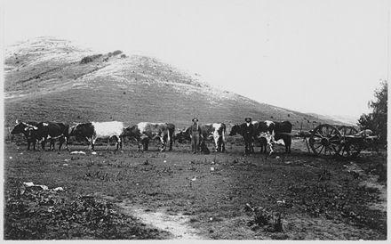 "Bullock team ""Waimarama"", Hawkes Bay"