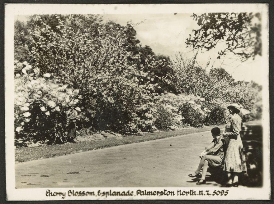 Cherry Blossom, Victoria Esplanade